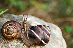 Two Snails On Stone Royalty Free Stock Photo - Image: 15690475
