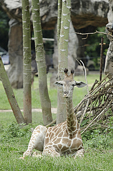 Relaxing Young Giraffe Royalty Free Stock Photo - Image: 15691345