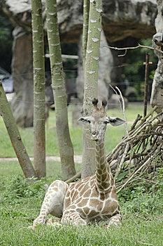 Relaxing Young Giraffe Royalty Free Stock Photo - Image: 15691345