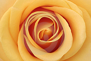 Inside Of The Rose Stock Images - Image: 15691854