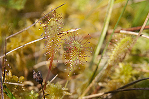 Common Sundew Royalty Free Stock Photos - Image: 15692778
