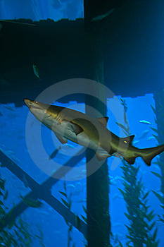 Shark Attack Royalty Free Stock Photos - Image: 15698718