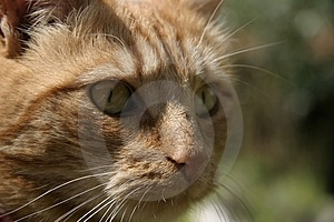 Ginger Cat Royalty Free Stock Image - Image: 1575706