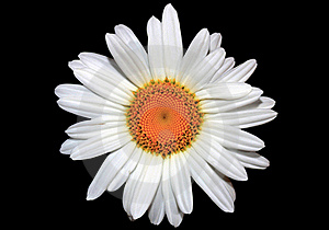 White Daisy Stock Photos - Image: 15700153