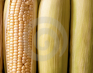 Cobs Of Fresh Orgnic Corn Royalty Free Stock Photography - Image: 15700387