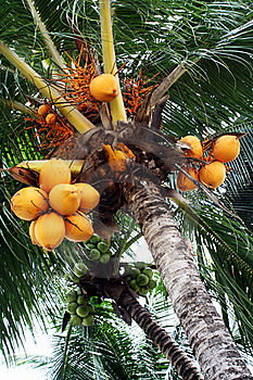 Coconuts Plantation Royalty Free Stock Image - Image: 15708696