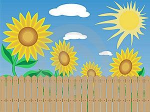 Sunflowers. Stock Photo - Image: 15708960