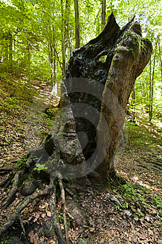 Old Hollow Trunk Royalty Free Stock Images - Image: 15709099