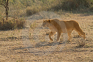 Lion The King Of Africa Royalty Free Stock Images - Image: 15712769