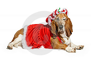 Basset Hound Dog Wearing A Mrs Santa Claus Outfit Royalty Free Stock Image - Image: 15712876