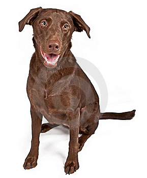 Chocolate Labrador Retriever Dog Stock Photo - Image: 15712880