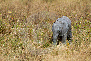 African Baby Elephant Royalty Free Stock Images - Image: 15712909
