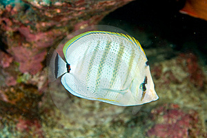 Multibar Butterflyfish Stock Photography - Image: 15715292