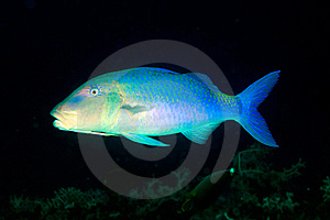 Goatfish Royalty Free Stock Photo - Image: 15715295