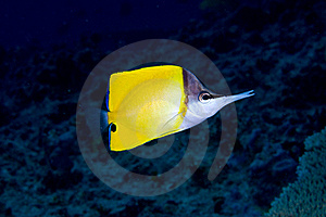Long-nose Butterflyfish Royalty Free Stock Photos - Image: 15715298