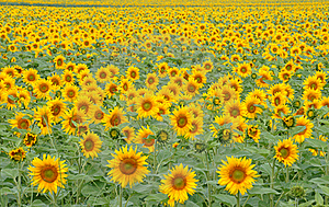 Field Of Sunflowers Stock Image - Image: 15716491