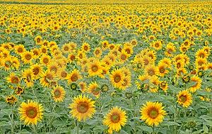 Field Of Sunflowers Stock Image - Image: 15716491
