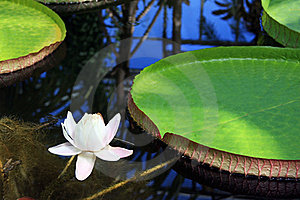 Victoria Amazonica With White Flower Stock Photos