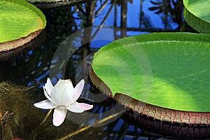 Victoria Amazonica With White Flower Stock Photos - Image: 15719073