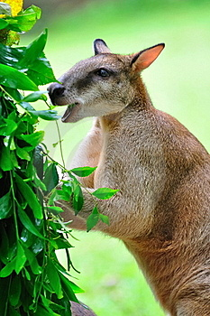Red Kangaroo Enjoying Its Food Stock Photography - Image: 15720992
