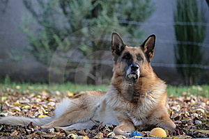 Portrait Of A German Shepherd Royalty Free Stock Photography - Image: 15722257