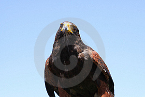 Harris Hawk Royalty Free Stock Photography - Image: 15728307
