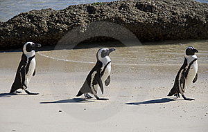 Penguins On Beach Stock Photo - Image: 15730130