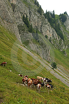 Cattle Herd In The Alps Royalty Free Stock Photos - Image: 15730638