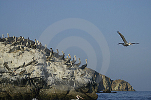 Pelican Taking Off Stock Photo - Image: 15731660