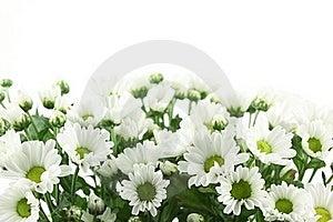 White Daisy Stock Photos - Image: 15732993