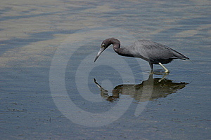 Little Blue Heron Royalty Free Stock Images - Image: 15733549