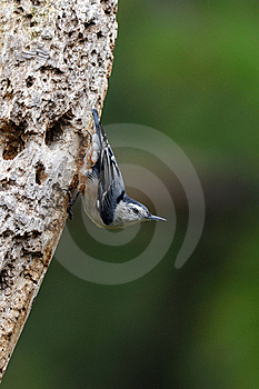 Nuthatch On Tree 2 Royalty Free Stock Photo - Image: 15742195