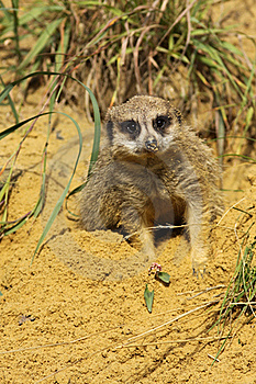 Meerkat Laying In The Sand And Looking At You Stock Image - Image: 15743471
