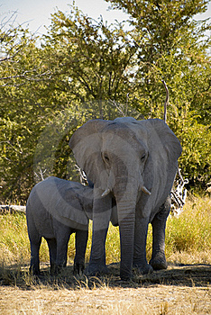 Baby Elephant Suckling Stock Images - Image: 15748144