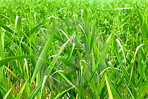 Reed Royalty Free Stock Photography - Image: 15752447