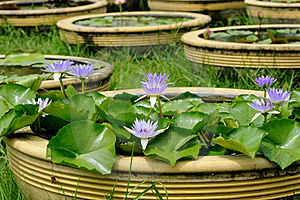 Violet Lotus Royalty Free Stock Photos - Image: 15753098