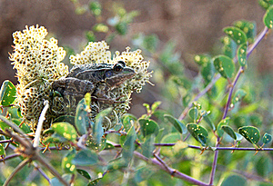 Frog Hiding In A Flower Stock Photography - Image: 15753792