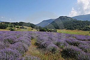 Lavender Landscape Royalty Free Stock Image - Image: 15755916