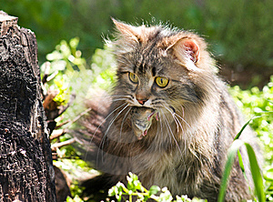 Cat And Mouse Royalty Free Stock Photography - Image: 15757307