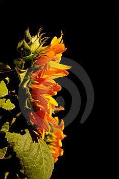 Yellow Sunflower Stock Photos - Image: 15757973