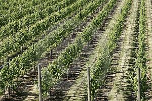 Vineyard Grapes Vines Royalty Free Stock Image - Image: 15759716