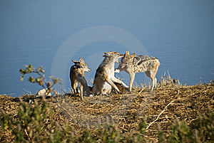 Black-backed Jackals Stock Image - Image: 15762671