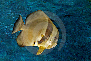 Platax Or Batfish Stock Photography - Image: 15766202