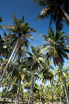 Coconut Trees And The Blue Sky Royalty Free Stock Image - Image: 15775346