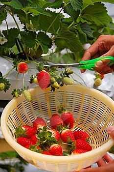 Plucking Strawberries Stock Image - Image: 15778211