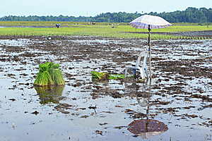 Rice Plants Stock Photos - Image: 15781053