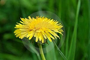 Dandelion Flower Stock Photo - Image: 15781670