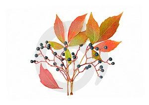 Wild Grape Royalty Free Stock Photos - Image: 15784008