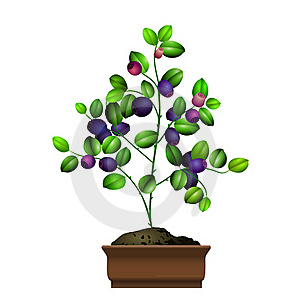 Bilberry Bush In Flowerpot Stock Image - Image: 15786911