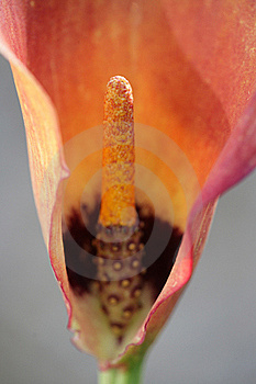 Red Lily Stock Photography - Image: 15787962